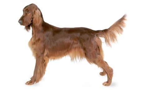 Irish Setter   Dog Breed history and some interesting facts