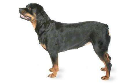 Colitis and Rottweilers  Rottweiler Pictures, Information amp Forum